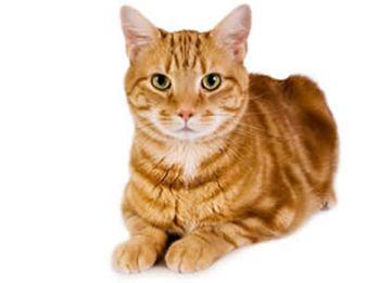 Caracteristicas del gato