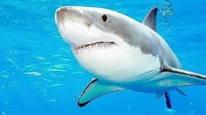 caracteristicas del tiburon