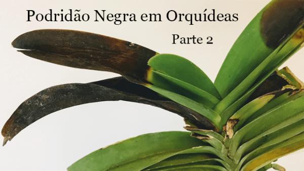 Podridão negra em orquídeas parte 2