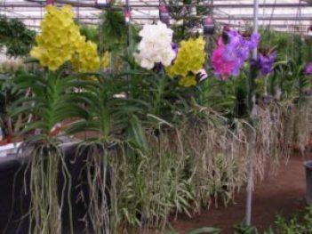 como cuidar de orquídeas compradas do mercado 2