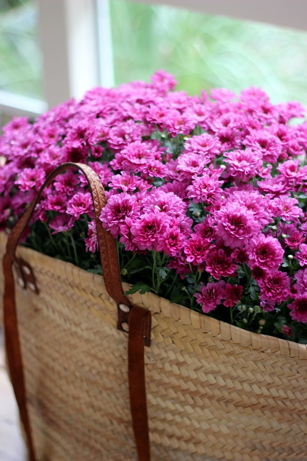 Chrysanthemum in basket