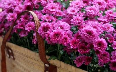 Hardy Chrysanthemum Care