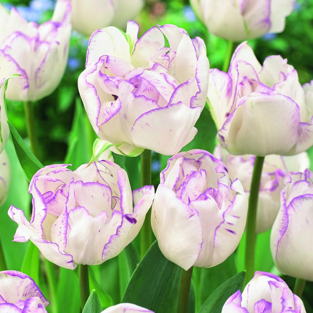Double Shirley Tulips