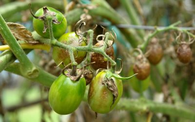 What Causes Tomato Blight?