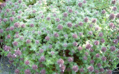 Is It Time For Thyme?