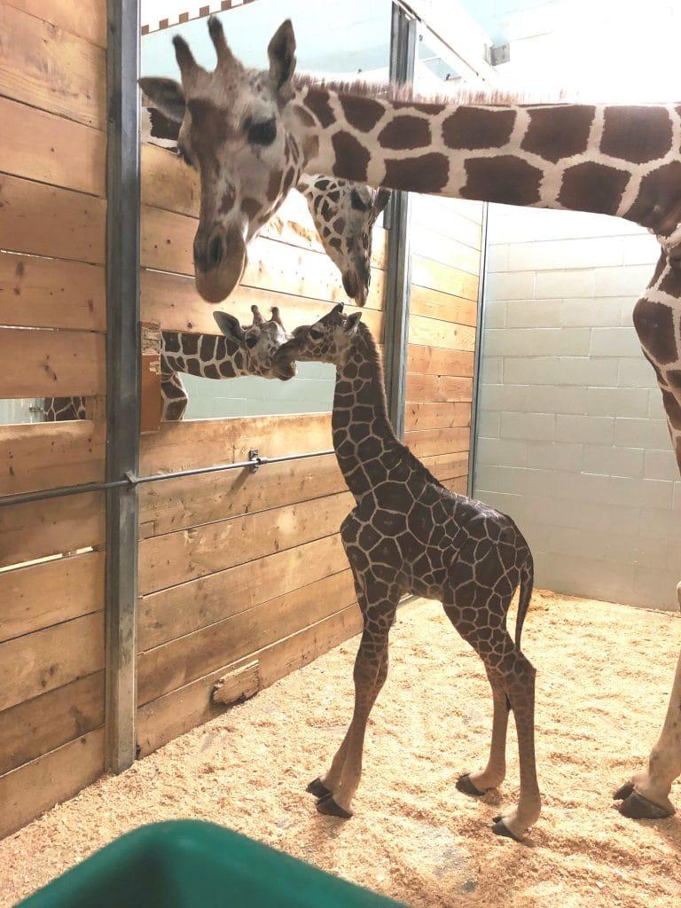 How Tall Is A Newborn Giraffe : newborn, giraffe, Welcomes, *gulp*, Giraffe!, Conservatory