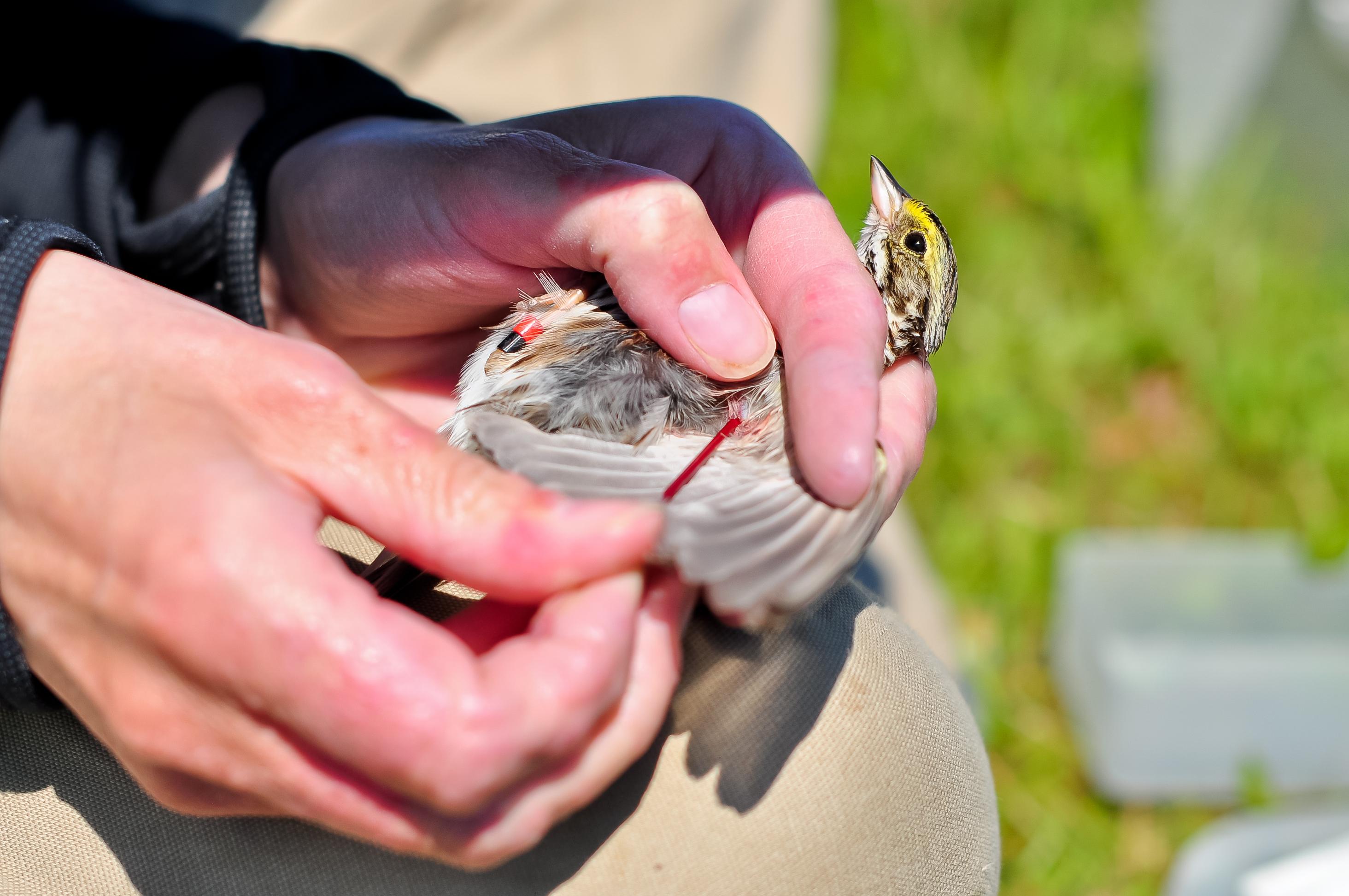 Savannah sparrows  Newman Lab
