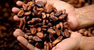 Notowania kakao spadają w ciągu ostatnich tygodni