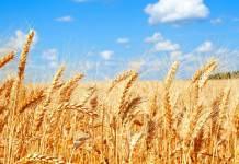Pole pszenicy na tle niebieskiego nieba