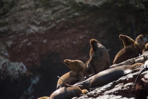 Sea lions in Paracas