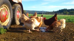 Chickens in spring