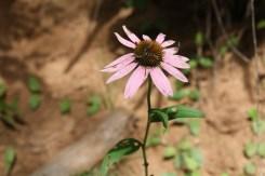 Echinacea (Echinacea purperea)