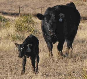 Cow and calf 6-14-16