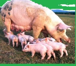 Pig Farming Business Plan Template Nigeria