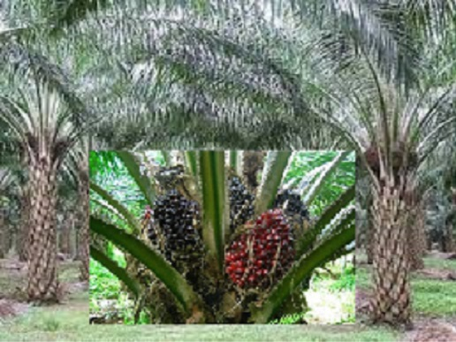 Palm Plantation Feasibility Analysis for Beginners
