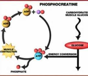 Phosphocreatine1.2