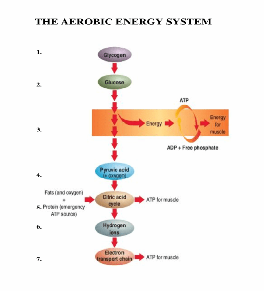 Fatigue part 4 the aerobic energy system complete track and field aerobic energy system fandeluxe Choice Image