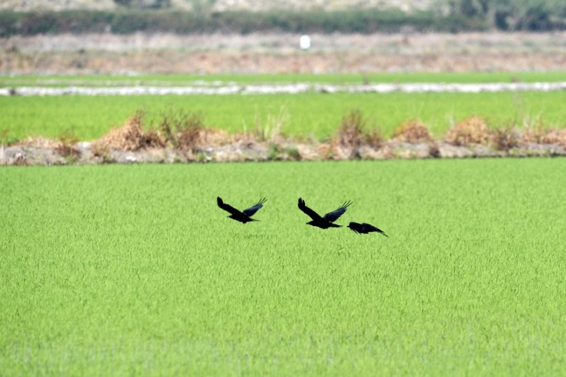 Following the Leader across the Paddy Fields
