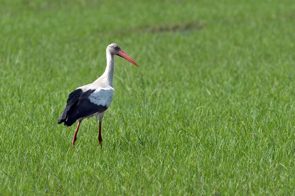The Comporta Stork