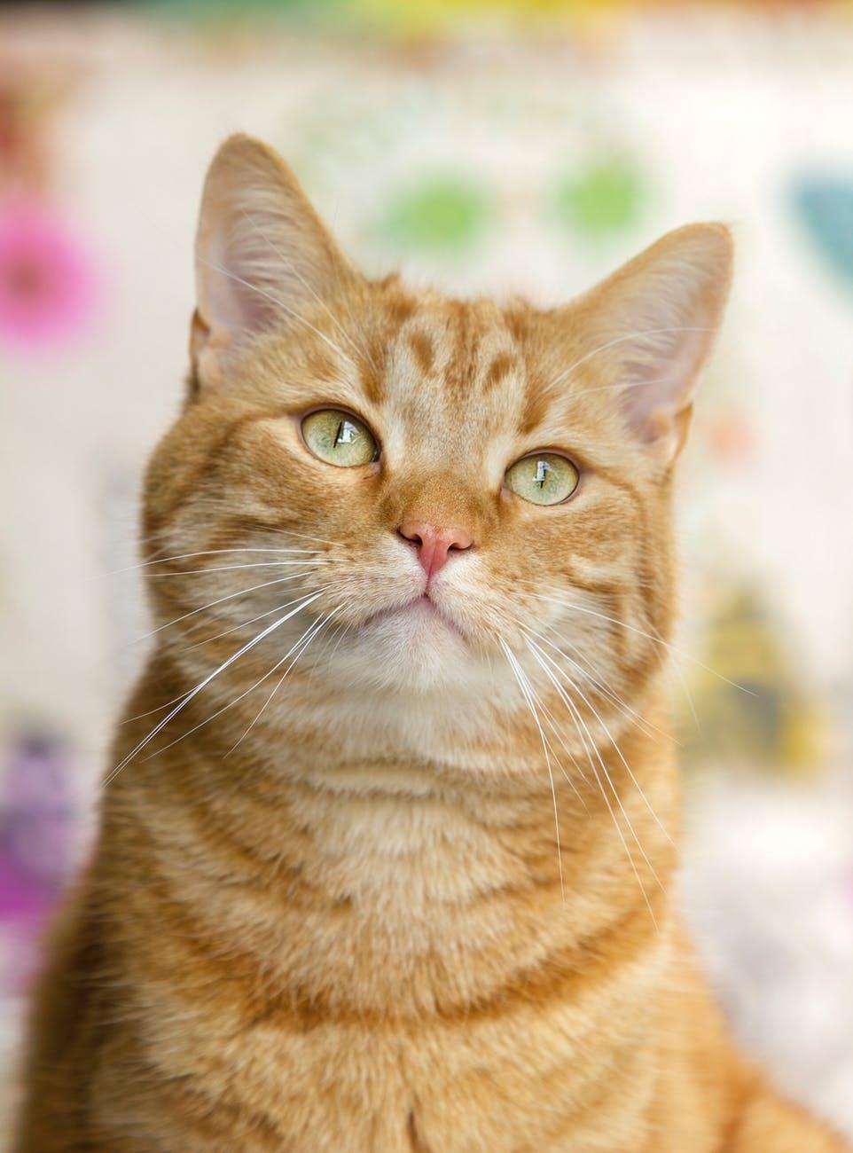 Un chat roux est attentif. On peut observer ses expressions faciales qui nous indiquent qu'il exprime une émotion positive.