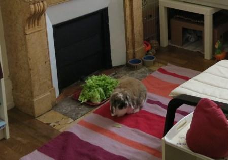 habitat du lapin de compagnie
