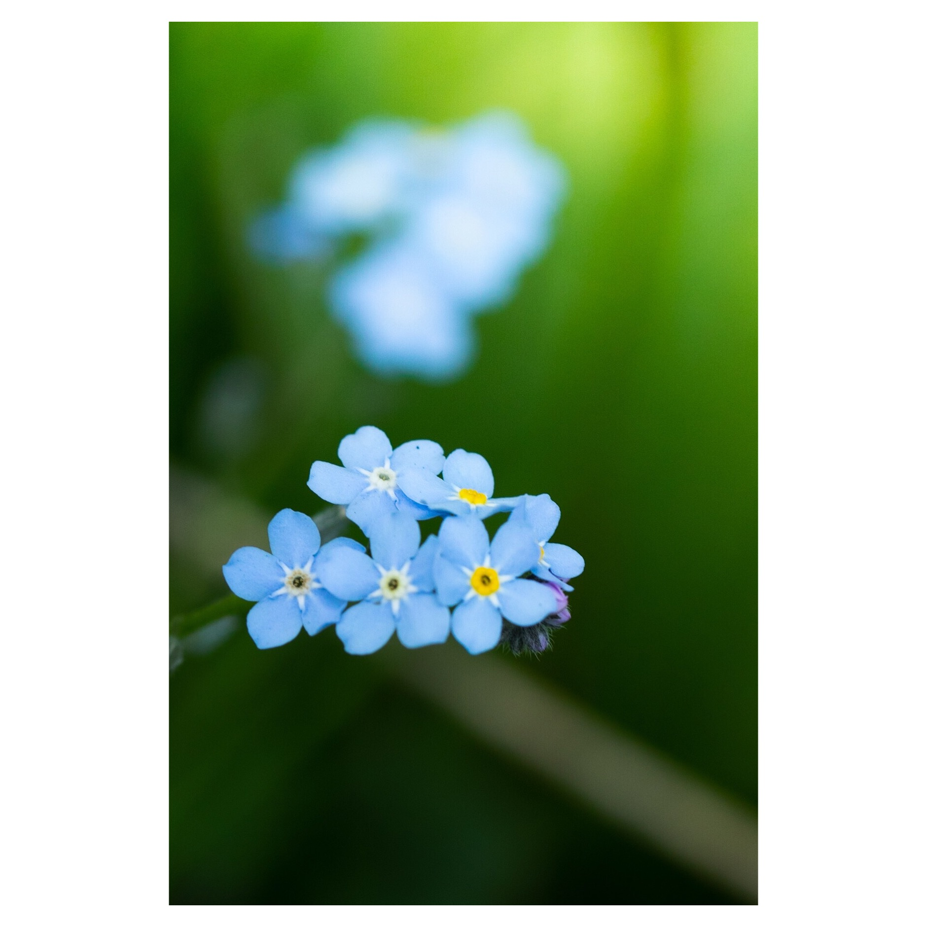 Forget-me-not Wildflowers