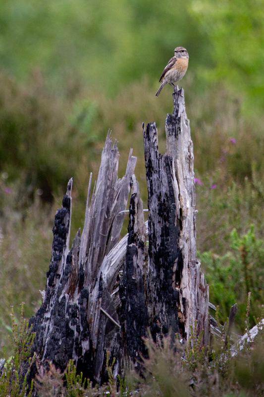 Female Stonechat