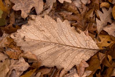 Dewy oak leaf