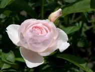 Sharifa Asma rose