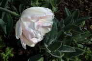 Double tulip