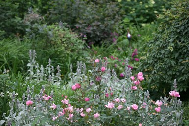 Blushing Knockout in the garden