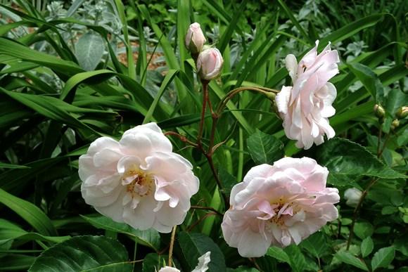 Marie Pavie polyantha rose