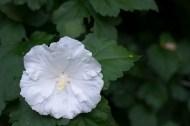 Rose of Sharon 'Diana'
