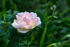 English rose 'Sharifa Asma'