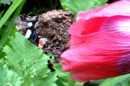 Moth in poppy