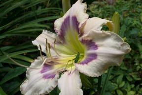 Daylily 'Mokan Butterfly' with visitor