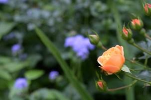 Rose and Ageratum