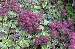Sedums and ivy