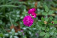 Miniature rose 'Sweet Chariot'