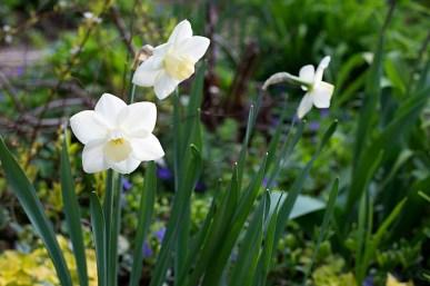 Daffodil 'Bella Coola'