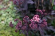 Sedum 'Purple Emperor'