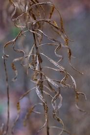 Amsonia leaves