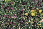 Sedums and lemon thyme