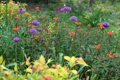 Allium, Euphorbia griffithii, Spirea