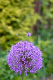 Allium 'Purple Sensation' with extra floret