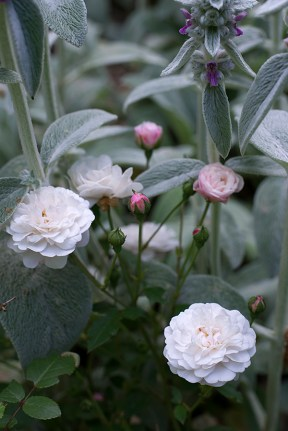 Polyantha rose 'White Pet'