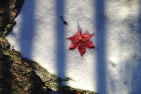 Bloodgood maple leaf in snow