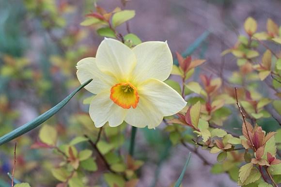 Daffodil 'La Traviata'