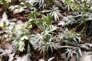 Hellebores in snow