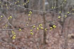 Spicebush branch